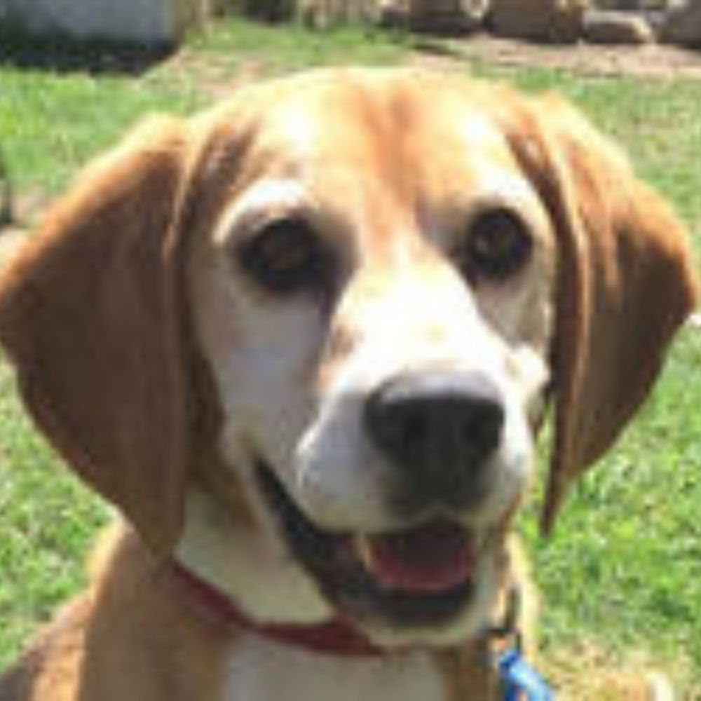 Beagle Rescue NSW