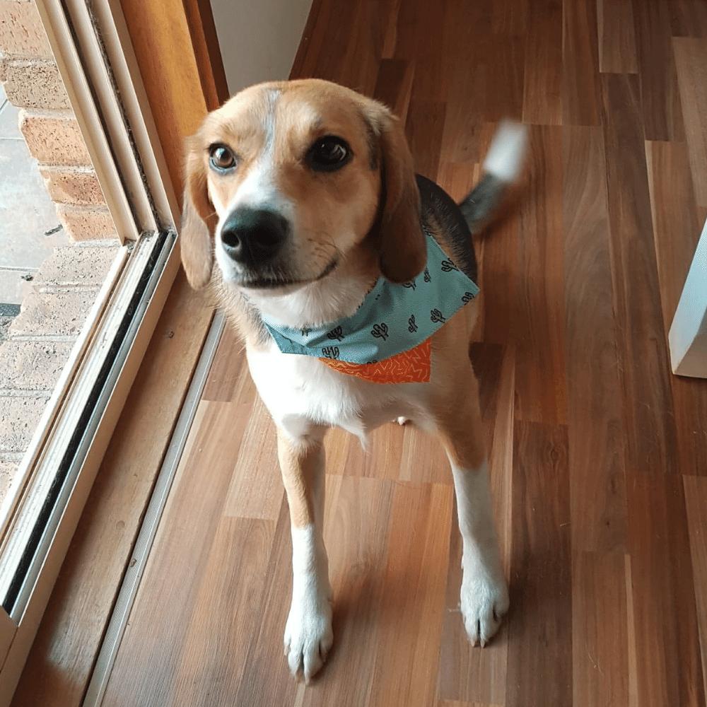 Beagle for adoption BRNSW