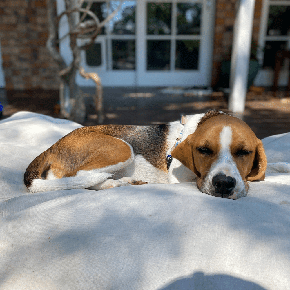 Pixie Beagle for rehoming BRNSW